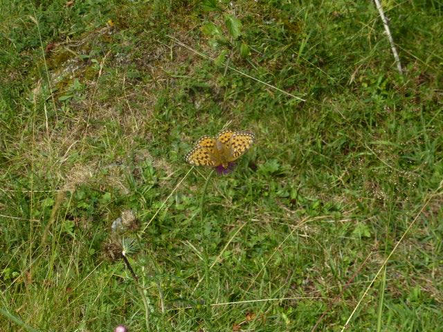Les papillons aussi aiment les fleurs!